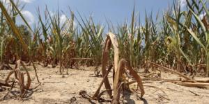 Haiti:  La sécheresse cause de sérieux ravages dans les plantations à Belladère