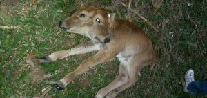 Haiti: Naissance à Dondon d'un veau bicéphale