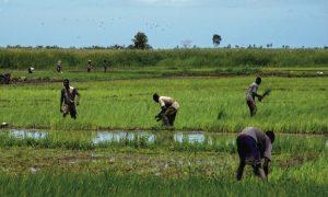 Haiti: Première récolte de riz de la Caravane du changement déjà prête dans l'Artibonite