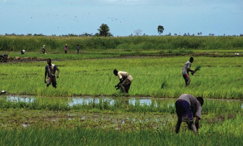 Haiti: Les gangs rivaux s'affrontent dans l'Artibonite et s'approprient des récoltes de riz des paysans