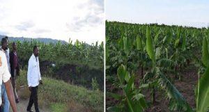Banane-Agritans