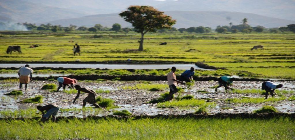 Haiti:  Des planteurs de la Vallée de l'Artibonite accusent des hommes d'affaires dans l'insécurité de la région