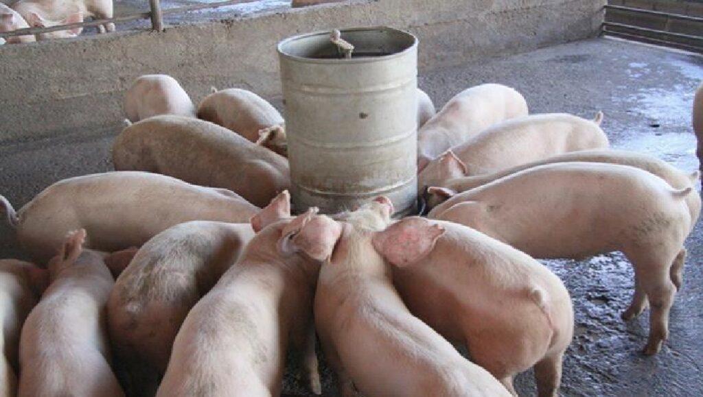 Haïti: Les autorités préoccupées par la présence de la peste porcine sur le territoire dominicain
