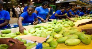 Haiti: L'exportation de mangues représente 17 millions de dollars U$ sans grand encadrement de l'État